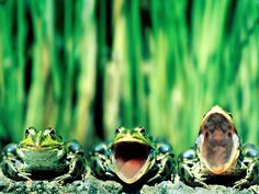 a KNOT of Frogs