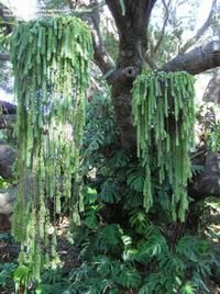 hanging succulent plants - Google Search