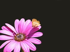 Violet daisy with butterfly by ilpavone2004