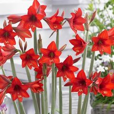HIPPEASTRUM SONATINI RED RASCAL - Garden Express