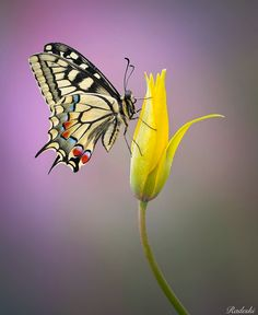 Butterfly Discover Papilio Machaon by Roberto Aldrovandi - Photo 193338715 / Butterfly On Flower, Butterfly Pictures, Butterfly Painting, Butterfly Wallpaper, Flower Art, Beautiful Bugs, Beautiful Butterflies, Beautiful Flowers, Foto Poster