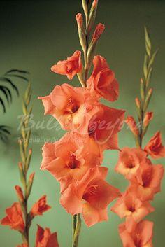 Gladiolus Jessica