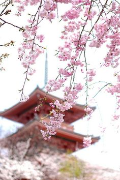Cherry blossoms in Kyoto, Japan, would love to go for the cherry blossom festival...