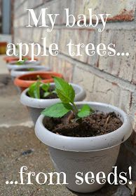 Over The Apple Tree: Grow An Apple Tree From Seeds. I am going to try this with my kids!