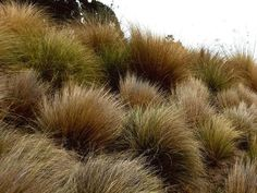 Com Gra Large Commercial Landscaping, Grasses, Herbs, Landscape, Plants, Lawn, Scenery, Grass, Herb