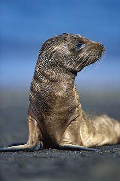 ~~Galapagos Sea Lion Pup  by Tui De Roy~~