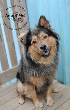 Meet Jeffrey, a Petfinder adoptable Collie Dog | Kansas City, MO | Jeffrey is an absolutely stunningly handsome boy! Jeffrey is a Collie/Chow mix and will turn heads...