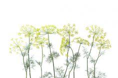 Dille plantjes tot aan je plafond op een witte achtergrond