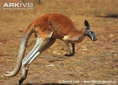 An iconic symbol of the Australian outback, the red kangaroo is the largest living marsupial, and one of the most abundant and striking of all kangaroos. Standing up to an impressive two metres...