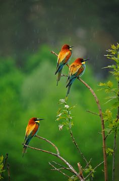 Bee eaters in the rain.