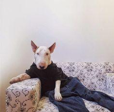 ALLPE Medio Ambiente Blog Medioambiente.org : Jimmy Choo, el paciente y divertido bull terrier de Rafael Mantesso