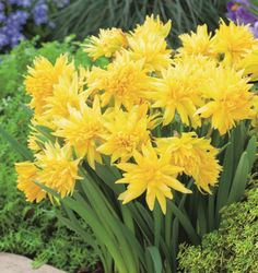Daffodil rip van winkle. An amazing miniature daffodil with wild petals like exploding stars. Excellent for borders and containers. http://mrfothergills-seeds-bulbs.com.au/Daffodil-Rip-Van-Winkle.html
