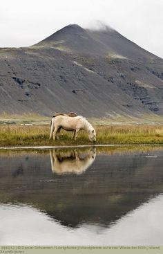 Islandpferde auf einer Wiese bei Höfn, Island, Skandinavien