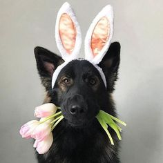 24 Ideas Baby Pictures Easter Pets For 2019 Dog Photos, Dog Pictures, Animal Pictures, German Shepherd Pictures, German Shepherd Puppies, German Shepherds, Dog Easter Eggs, Dog Calendar, Animal Photography