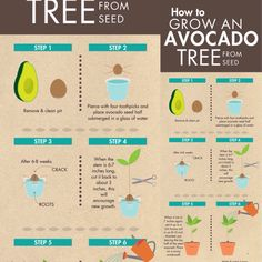 desima HOW TO GROW AN AVOCADO TREE FROM SEED HOW TO GROW AN AVOCADO TREE FROM SEED July 4, 2015 by Kirk Dyer How To Grow an Avocado Tree From Seed hass_avocado avocado_tree Mature Avocado Tree Mature Avocado Tree Some Fun Fact about Avocados Call them ahuacatl, avocaat, abogado, avocatier, agovago pears or alligator pear, from guacamole to sushi, the world over has enjoyed avocados in a variety of ways. Once considered to have an aphrodisiac effect in many cultures, avocado growers put a lot…