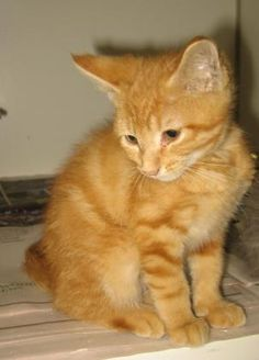 Petango.com – Meet Colonel Snazzypants - 100109h, a 2 months 29 days Domestic Shorthair / Mix available for adoption in TUPELO, MS