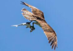 El águila (y el fotógrafo) con más suerte del mundo 😎 Bald Eagle, In This Moment, Animals, World, Fotografia, Animales, Animaux, Animal, Animais