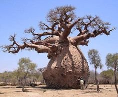 The Baobab tree can store up to 30,000 gallons of water.