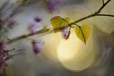 New love (Carmen Tulum) Tags: sunset sunrise heart blossom redbud redbudtree heartshapedleaf judastree