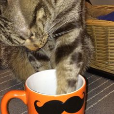 Cat drinks almond milk #TagsForLikes #instacat #instapet #instacool #instagood #instalike #iphoneonly #pet #petstagram #adorable #furry #followforfollow #kitten #likes #lovecats #likeforlike #cat #catlover #catsagram #catsagram #catsofinstagram #best #cat