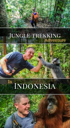Jungle Trekking Adventure in Indonesia. We spent a solid 8 hours hiking through the jungle where we encountered many Orangutans, White gibbons and a Thomas Leaf Monkey. In addition we learned about all the plants and trees we came across and took some time to observe a jungle peacock. Click to read more at http://www.divergenttravelers.com/jungle-thomas-jungle-tours/