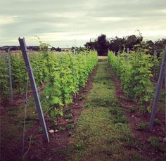 WINE REGIONS AND CLIMATE CHANGE, WILL WE BE DRINKING SWEDISH PINOT SOON? FOODIE UNDERGROUND