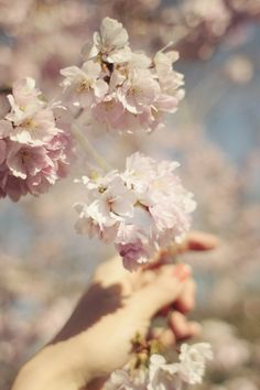 Cherry Blossoms. My favorite.