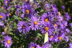 New England Aster--fall bloomer, native indiana