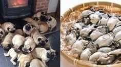 パグは牡蠣。プードルはフライドチキン。食べ物に似てる犬たち♪のアイキャッチ