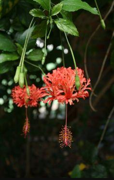 20 best tanaman hias bunga images on pinterest flower gardening japanese lantern fringed rose mallow coral hibiscushibiscus schizopetalus almost eden ccuart Images