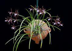 Encyclia bractescens.
