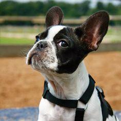 Baby Bulldog frenchbulldog frenchie französische Bulldogge