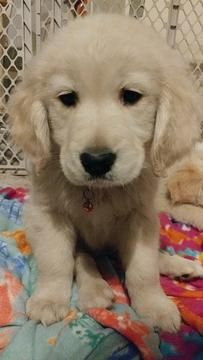 Golden Retriever Puppy For Sale In Northwood Oh Adn 64066 On