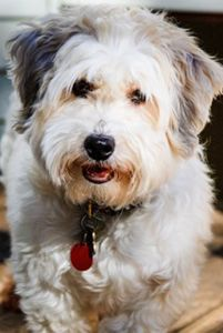 Boomer in Michigan is a gorgeous 4-year-old Havanese mix who weighs 18.5 pounds and still has that great happy puppy personality.  His peaches and cream coat is so soft and fluffy and easy to comb.  http://www.havaneserescue.com/index.php/our-rescue-dogs/available-for-adoption/1057-boomer-in-mi