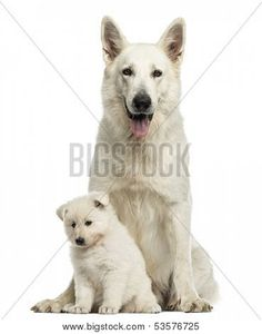 White Swiss Shepherd with puppy, isolated on white http://www.bigstockphoto.com/image-53576725/stock-photo-white-swiss-shepherd-mom-with-puppy%2C-isolated-on-white