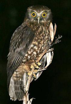 Ruru (Maori)/Morepork New Zealand's Native Owl Sea Birds, Wild Birds, Beautiful Birds, Animals Beautiful, New Zealand Tattoo, Nocturnal Birds, Burrowing Owl, Kiwiana, Birds Of Prey