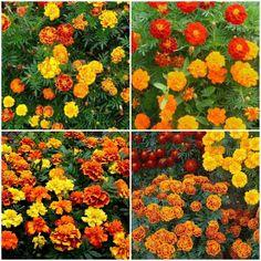 Plante care infloresc tot anul. 10 flori care nu tin cont de anotimpuri Gerbera, Tin, Plants, Pewter, Plant, Planets
