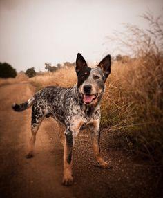 Austrailian Cattle dog
