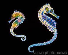 Résultats Google Recherche d'images correspondant à http://www.sciencephoto.com/image/375903/350wm/Z6050235-Coloured_X-ray_of_two_seahorses,_Hippocampus_sp.-SPL.jpg