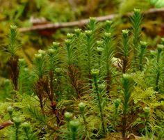 Hair Moss (Marsh) - Wild Flower Finder