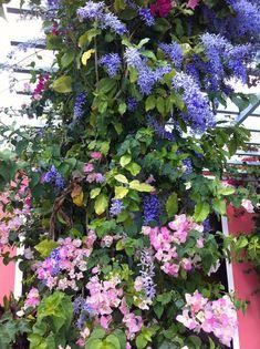 Petrea volubilis- Queen's wreath and bougainvilla