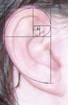 ".The Fibonacci Sequence in the human hear (measurements match to the ""T"")  #Fibonacci's sequence"