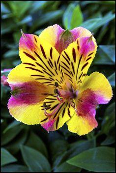 Designs For Garden Flower Beds 20 Yellow Pink Alstroemeria Lily Seeds Flower Seed Peruvian Perennial Flowers Plant Tropical Plumeri