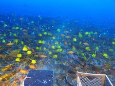 During a 20-year expedition, scientists revealed that the deep coral reefs in Hawaii are home to endemic fish and algal meadows.