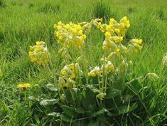 Primula veris, Cowslip.  (EH1F HedgeMix )pollinated by long tongued bees, butterflies, moths and bee flies. short grasslands, calcareous and occasionally dry, non-calcareous soils but thrives best in moist, free draining sites.