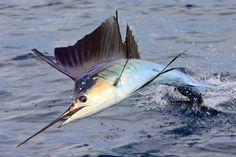 Marlin-Sailfish-Contest-Entry-Sam-Friederichs.jpg