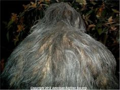Trail cam picture of something large & fuzzy, possibly a Bigfoot??