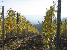 Vineyards, Stuttgart, Germany