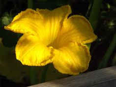Pumpkin blossom, June 2012