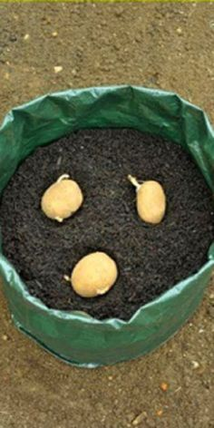 Believe it or not, this can grow tons of potatoes in a trash bag (video) # gardening Growing Plants, Growing Vegetables, Growing Gardens, Organic Gardening, Gardening Tips, Gardening Books, Potato Gardening, Gardening Supplies, Gemüseanbau In Kübeln